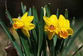 Cluster of yellow daffodils — Stock Photo