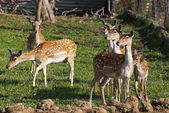European fallow deer (dama dama) — Stock Photo