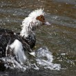 Muscovy ducks (carina moschata) — Stock Photo #12436897