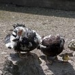 Muscovy ducks (carina moschata) — Stock Photo #12726848