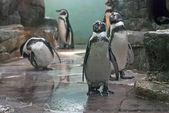 Humboldt penguin — Stock Photo