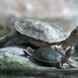 Big and small turtle basking — Stock Photo