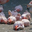 Chilean Flamingo - pink waterbirds — Stock Photo