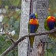 Picture of Rainbow Lorikeet — Stock Photo