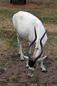 Addax nasomaculatus — Stock Photo
