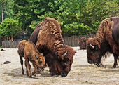 Bison with calf — Stock Photo
