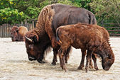 American Bison herd — Stock Photo