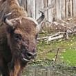 Stock Photo: Europebison (Bison bonasus)