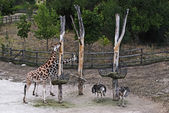 Group giraffes and ostriches — Photo