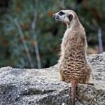 Meerkat (Suricata suricatta) — Stock Photo #13331837