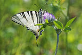 Butterfly swallowtail (Papilio machaon) — Stock Photo