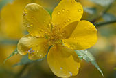 Water drops on a yellow flower — Stock Photo