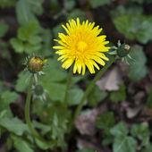 Dandelion in a green grass — Stock Photo