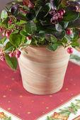 Arrotondato gaulteria pianta — Foto Stock