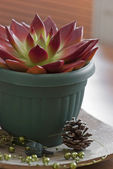 Red succulent in a pot — Stockfoto
