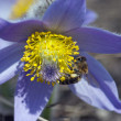 Bee pollinate pulsatilla flower — Stock Photo