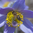 Stock Photo: Bee climbs and pollinate pulsatillflower