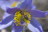 Bee climbs and pollinate pulsatilla flower — Stock Photo