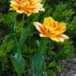 Red and yellow tulips in spring — Stock Photo #20427503