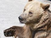 Brown bear (Ursus arctos arctos) — Stock Photo
