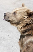 Brown bear stands on its hind feet — Stock Photo