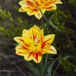 Two yellow tulips with a touch of red. — Stock Photo #21179587