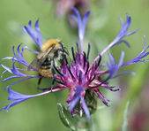 Bee pollinate beautiful cornflower — Stock Photo