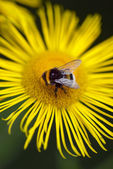 Bee landing on a yellow daisy — Stock Photo