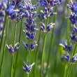 Stock Photo: Lavender flower (Lavandulx intermedia)