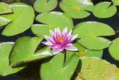 Pink blooming waterlily in garden lake — Stock Photo