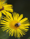 Little bee pollinate a yellow daisy — Stock Photo