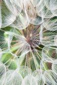 Enorme paardebloem bloemen parachutes — Stockfoto