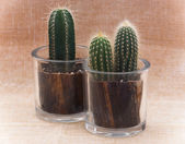 Two cacti in pots — Stock Photo