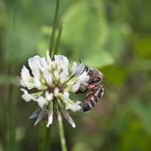 Bee pollinate a flower of white clover — Stock Photo