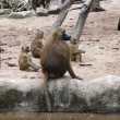 Group of chacma baboon — Stock Photo