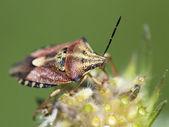 Crawly sloe bug (dolycoris baccarum) — Stock Photo