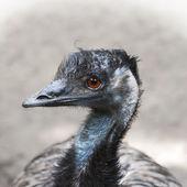 Emu (Dromaius novaehollandiae) — Stock Photo