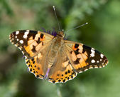 Painted lady (Vanessa cardui) — Stock Photo