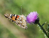 Painted lady (Vanessa cardui) on lila flower — Stock Photo