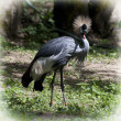 Royalty-Free Stock Photo: Crested crane (Balearica regulorum gibbericeps)