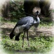 Crested crane (Balearica regulorum gibbericeps) — Stock Photo