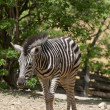 Chapmans zebra — Stock Photo #24960339