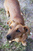 Dachshund dog — Stock Photo