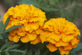 African marigold (Tagetes erecta) — Stock Photo