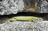Lean european green lizard (Lacerta viridis) — Stock Photo