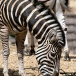 Chapmans zebra (Equus quagga chapmani) — Stock Photo