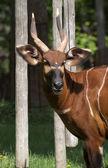 Bongo antelope (Tragelaphus euryceros) — Stock Photo