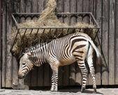 Mountain zebra feeding — Stock Photo