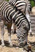 Chapmans zebra (Equus quagga chapmani) — Stock Photo