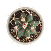 Little prickly cactus in a flower pot on a white background — Stock Photo